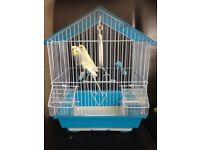 Lovely baby budgies with cage £50
