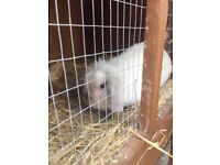 Rabbit with two level hutch