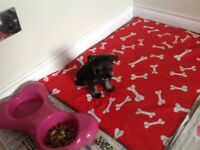 MINITURE schnauzer girl pup smallest in litter , vet checked , kc reg , puppy insurance , food etc
