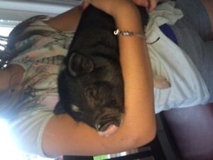 baby micro pig (male) avaialble