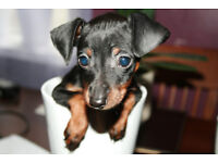 MINIATURE PINSCHER PUPPY GIRL