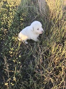 Pyranees Puppies for Sale