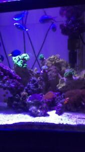 Selling one Clown fish and 3 large Chromis