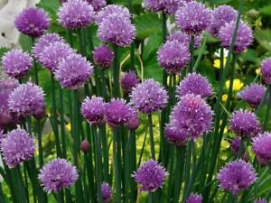 Organic Perennial Chive and Spring Onion Plants