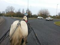 14hh traditional gypsy cob mare ride n drive jumping pony