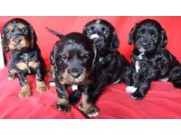 KC Reg Cocker Spaniel Pups
