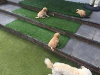 poodle dog puppies for sale
