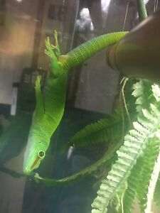Giant day gecko with terrarium