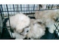Poochons puppies