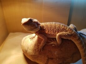 BEARDED DRAGONS (2) WITH SET UP