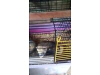 Young male ferrets