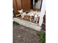 Gorgeous Chihuahua x puppies