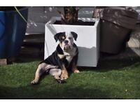 English bulldog puppies tricolor. 1 left