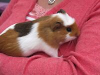 A lovely female baby Guinea Pig. 9 weeks old.