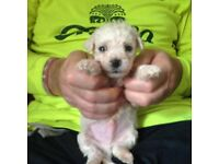 two boy bichon frise age 6 weeks old ready to go in 2 weeks