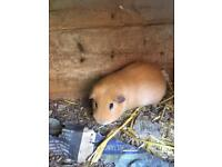 Male ginger guinea pig