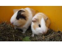 Baby male and female guinea pigs for loving homes