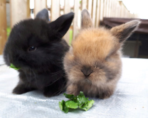 Beautiful Purebred Holland Lop Bunnies Only 1 Left!!!