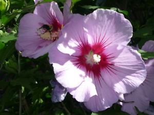 Rose of Sharon young shrub .. blue single flowers . perennial