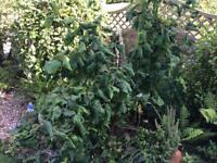 CORYLUS GARDEN PLANT