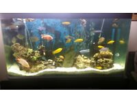 Malawi cichlids. American cichlids. tropical fish