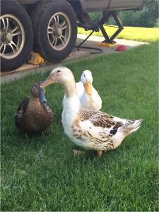 2 Ducks / 1 Drake