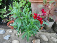 Plant for sale-Snapdragon plants