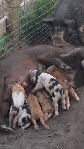 Weinling pigs for sale.