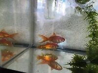 two wee goldfish with tank and access £30