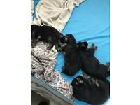 Long haired German shepherd puppies for sale
