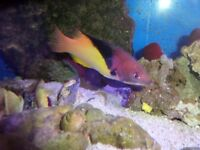 ADULT ECLIPSE HOGFISH. ( SOLD )