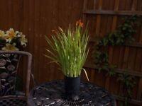 Crocosmia orange flowering plant.