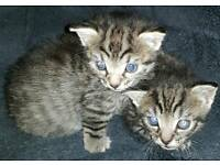 2 male (i think) tiger markings kittens