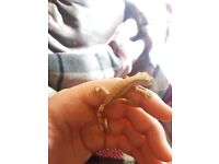 Harlyquin crested gecko one left!