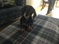 Miniature Dacshund puppy male 11 weeks old