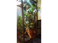 Chameleon reptile vivarium set up