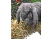 French lop doe lilac
