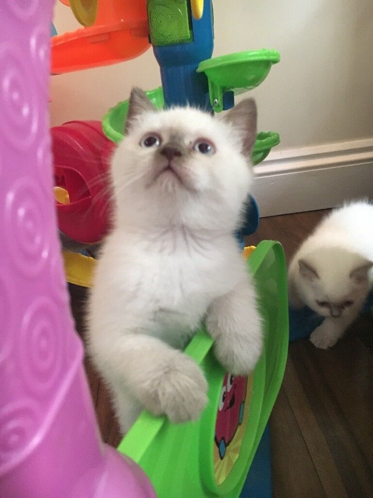 Champion sired kittens GCCF registered ...