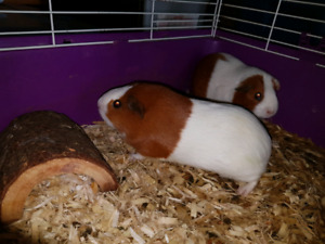 Looking for loving home for our Guinea Pig Sisters