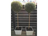 Lolipop buxus for sale!
