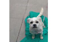 Fully Trained (1 Year Old) Female Terrier