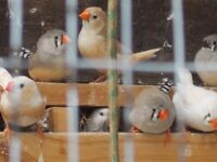 Healthy Zebra Finches on M25 - Various colors