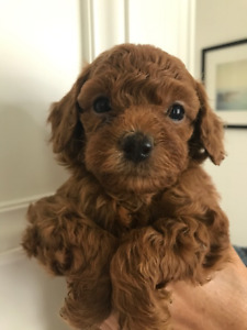 Purebred - Teddy Bear Face - Cute red Toy poodles
