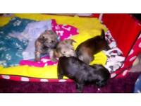 Beautiful chorkie pups 2 boys and 2 girls available sept 4th