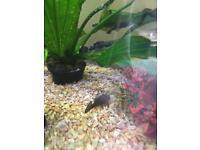 Tropical Fish - Baby Plecs