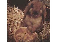 Lop ears rabbit for sale