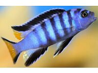 Different Adult Malawi and a cat fish for sale