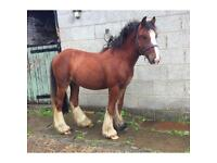 Lovely little Colt for sale! **Has great potential**