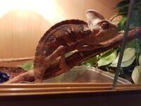 Lizard and viv