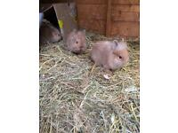 Baby bunnies Netherland dwarf /lion head